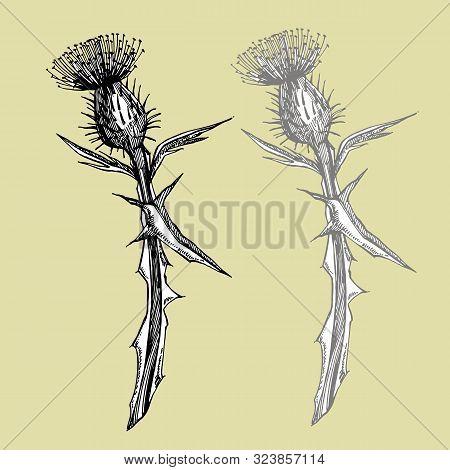 Thistle Or Daisy Flower. Botanical Illustration. Good For Cosmetics, Medicine, Treating, Aromatherap