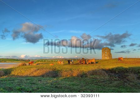 Cows at Dough Castle in Lahinch, Co. Clare, Ireland