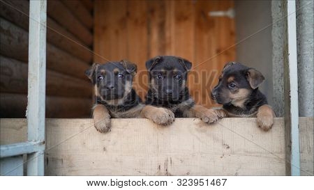 Funny Puppies Of A German Shepherd. Puppies Run On A Whistle. Puppies Are Shown At The Same Time.