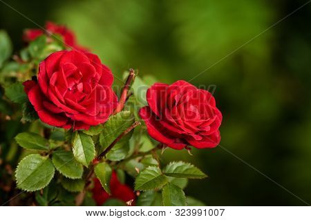 Two Roses Grow In A Garden At The Northern Finland. The Flowers Are In Full Bloom On A Late Summer D