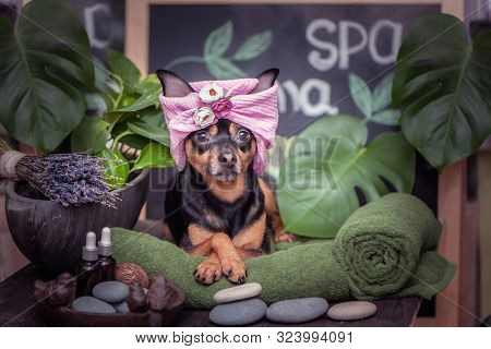 cute Pet Relaxing In Spa Wellness . Dog In A Turban Of A Towel Among The Spa Care Items And Plants.