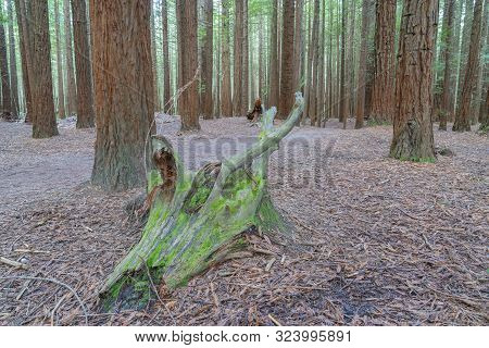 Old Rotting Moss Covered Log On Forest Floor Of Whakarewarewa Redwood Forest With Tall Sequoia Trees