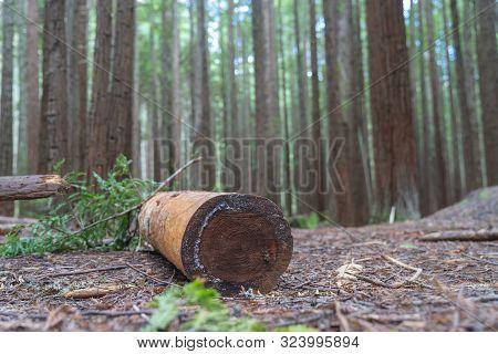 Sawn And Barked Log On Floor Of Whakarewarewa Redwood Forest In Selective Focus In Rotorua New Zeala
