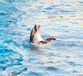Performing bottle-nosed dolphin in the dolphinarium pool poster