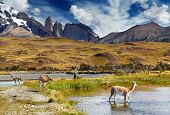 Guanaco in Torres del Paine National Park, Patagonia, Chile poster