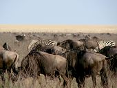 Multitude of animals on the plains of Tanzania Africa during the migration poster