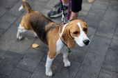 Beagle is a breed of hunting dogs bred in the UK. The Beagle is the smallest of the dogs. This breed was created for hunting rabbits on foot. poster