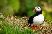 Puffin on the rock with green background, Iceland poster