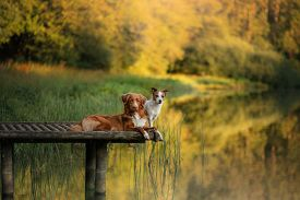 Dog Nova Scotia Duck Tolling Retriever And Jack Russell Terrier On A Wooden Bridge On The Lake. Pet