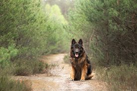 Fluffy German Shepherd In Nature. Dog Outdoors In The Forest