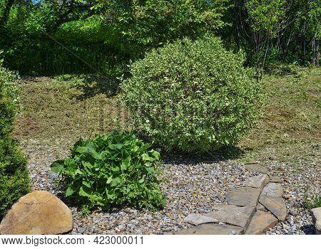 Round Ornamental Shrub Of Variegated Dogwood (cornus Alba Sibirica Variegata) In The Garden Landscap