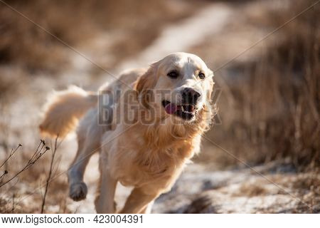 Portrait of adorable golden retriever dog during fast running in the field with dry yellow grass outdoors. Cute purebred doggy labrador playing at the nature in spring time
