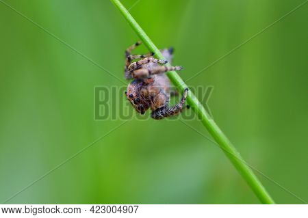 Salticidae. Macro, Small Jumping Spider On The Grass With A Green Background. Jumping Spider Saltici