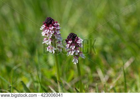 Burnt Orchid, Neotinea Ustulata