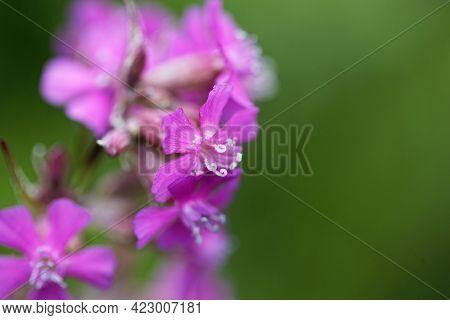 Macro Photo Of The Pink Silene Atropurpurea