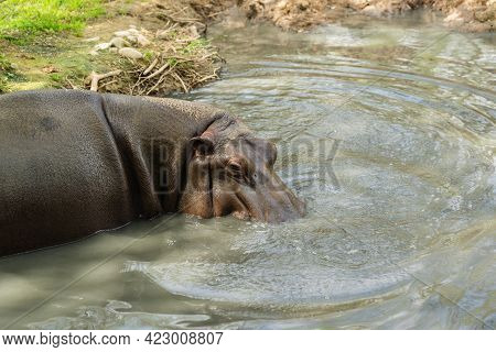 A Lone Adult Hippo Stands In The Muddy Water Of The Lake. Artiodactyl Mammal