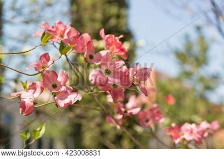 The Flowering Branch Of The Cornus Florida Plant Is One Of The Most Luxurious Trees In America, A Sy