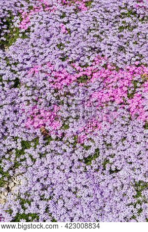 Creeping Solid Carpet On The Flowerbed Phlox Awl-shaped White, Pink And Lilac Flowers. Floral Backgr