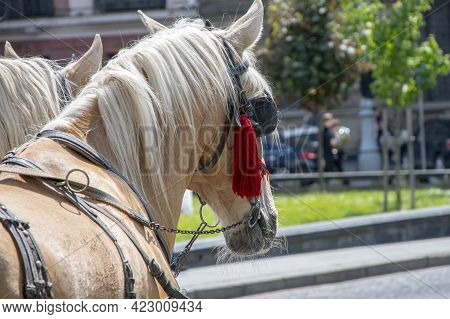 A Pair Of Horses With Blinders On Their Eyes Stand In The City On The Cobblestone Pavement.