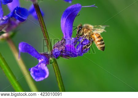 Bee To Work On A Salvia Pratensis Flower
