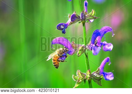 Flower Salvia Pratensis In A Meadow Of The Italian Alps With A Bee
