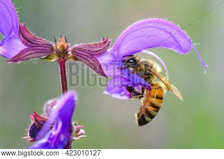 Flower Sage Pratensis With Bee That Is Sucking