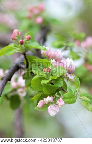 Awakening Of Nature. Branch Of A Blossoming Fruit Tree With Beatiful Pink Flower Buds On Green Blurr