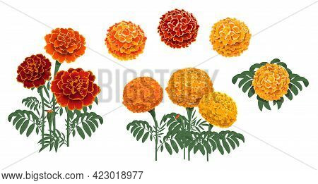 Marigold Flowers Blossoms, Leaves And Buds. Red And Orange Tagetes Or Cempasuchil Blooming Flowers,