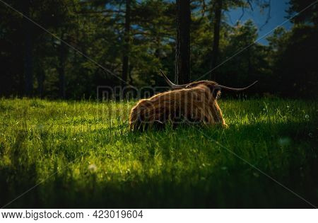 Scottish Highland Cattle Lying With Big Horns In Alpine Mountain Landscape On Sunlit Meadow Along Ev