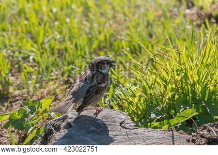 Standing Sparrow Seen Up Close Singing Among The Grass Singing Backlit With Sunlight