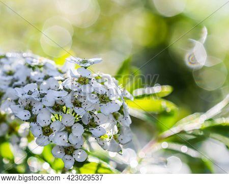 Thunberg Spiraea White Flowers After Rain. Bokeh With Sunlight Reflection