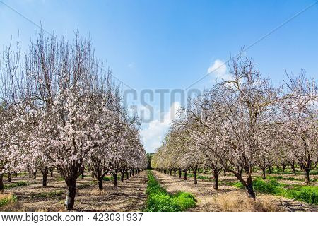 Picturesque alley of flowering almond trees. Early spring in Israel. Warm sunny february day. Grove of almond trees in spring bloom. February