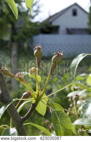 Small Ovaries Of Pear On Tree Branch. Pear Branch With Young Fruits Spring Time In The Orchard Garde