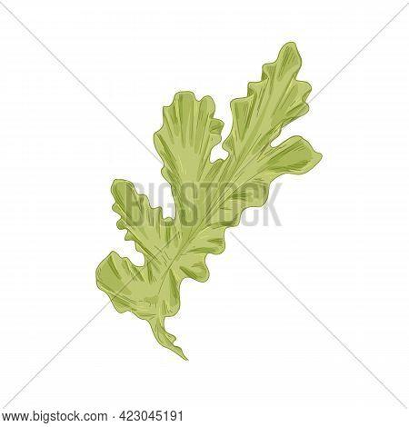 Leaf Of Sea Lettuce Or Ulva Lactuca Algae. Green Edible Seaweed. Natural Marine Underwater Plant. Re