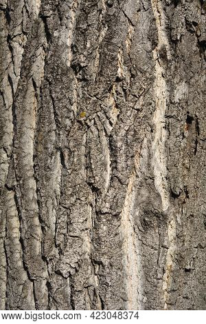 Canadian Poplar Bark Detail - Latin Name - Populus X Canadensis