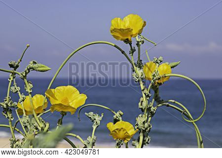 Yellow Flowers Of Glaucium Flavum Closeup On The Background Of The Mediterranean Sea. Yellow Horned