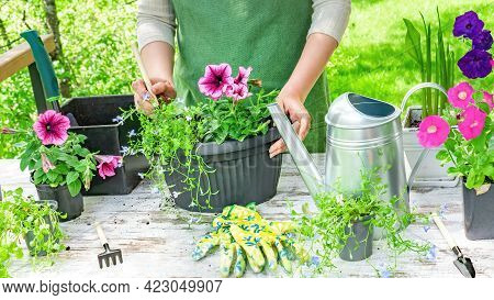 A Gardener In An Apron Plants Flowers In A Hanging Planter To Decorate The Home And Garden On A Sunn