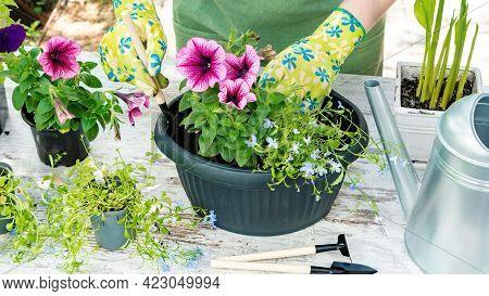 Gardener In Gloves Plants Flowers In Pots Close-up Top View. Spring Garden Work. Gardening As A Hobb