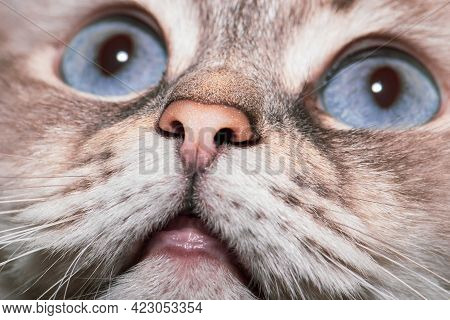 Siberian Neva Masquerade Cat With Blue Eyes Close-up Portrait. Selective Focus And Image With Shallo