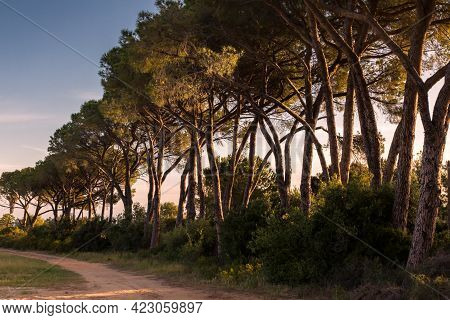 Morning Sunlight On An Avenue Of Pine Trees Along A Dirt Track In Corsica