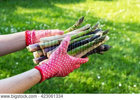 Asparagus sprouts in hands of a farmer on green grass background. Fresh green, purple and white asparagus sprouts. Food photography