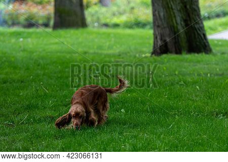Red-haired English Cocker-spaniel On The Green Grass