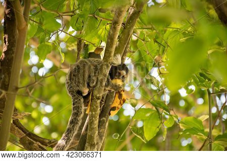 Small Mammal Animal Climbed On A Tree. Hairy Monkeys From The North Of Brazil.