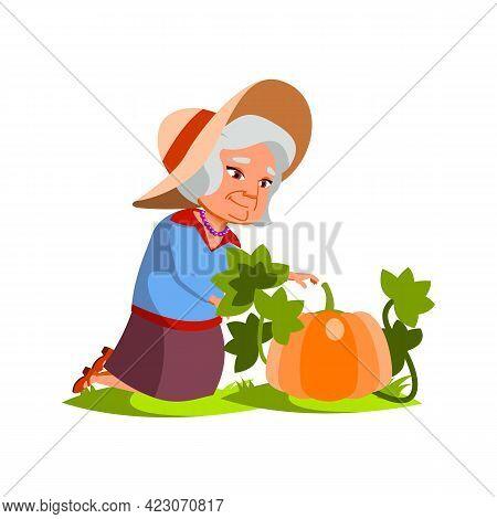Woman Senior Gardening And Harvesting Pumpkin On Farmland Cartoon Vector. Woman Senior Gardening And