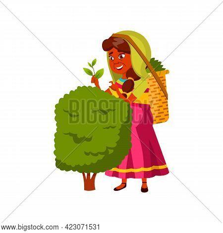 Aged Woman Harvesting Tea Leaves On Plantation Cartoon Vector. Aged Woman Harvesting Tea Leaves On P