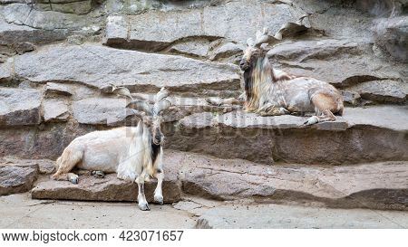 A Pair Of Screw-horned Goats (lat. Markhor )with Beautiful Large Horns Lie On The Rocks, Resting, Ch