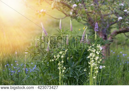 Purple Lupins, White Aquilegia And Blue Forget-me-nots On The Background Of A Blooming Apple Tree In
