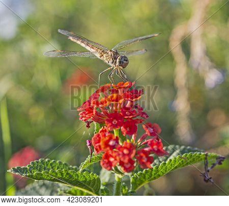 Closeup Macro Detail Of Wandering Glider Dragonfly Pantala Flavescens On Red Lantana Rose Flower In