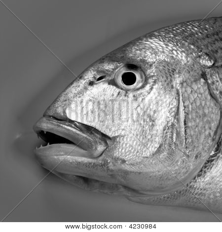 Denton Mediterranean sparus fish family of gilthead and snapper poster