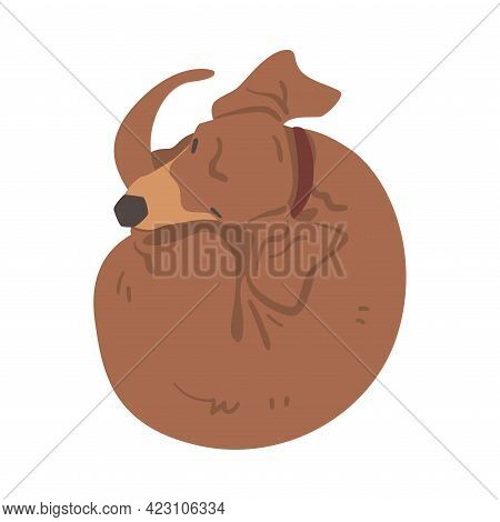 Dachshund Or Badger Dog As Short-legged And Long-bodied Hound Breed With Collar Cuddling Up Vector I